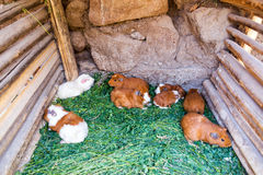 Króliki doświadczalni w Peru Zdjęcia Stock