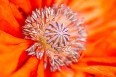Kärnan av den brännheta röda blommamakroen Mycket closeup Arkivbild