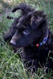 Kroatisch herdershondpuppy Royalty-vrije Stock Afbeeldingen