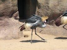 Kroczyć dumnie Wschodniego afrykanina Koronowanego żurawia Zdjęcia Royalty Free