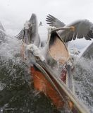 Kroeskoppelikaan, pelicano Dalmatian, crispus do Pelecanus fotografia de stock