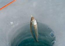 krok för 2 fisk Royaltyfri Fotografi