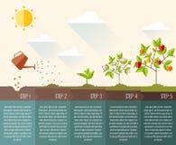 Kroki roślina przyrost Linia czasu infographic projekt Obrazy Royalty Free