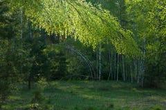 Krokigt björkträd royaltyfri fotografi