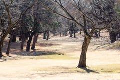 Krokigt dött träd royaltyfria bilder