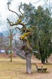Krokigt fullvuxet träd royaltyfri bild