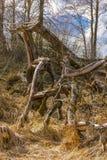 Krokigt gammalt läskigt torkat träd mot bakgrunden arkivfoto