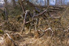 Krokigt gammalt läskigt torkat träd mot bakgrunden royaltyfri bild