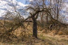 Krokigt gammalt läskigt torkat träd mot bakgrunden fotografering för bildbyråer