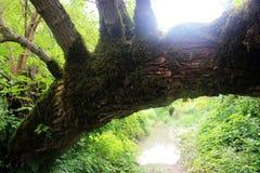 Krokigt gammalt träd arkivfoton