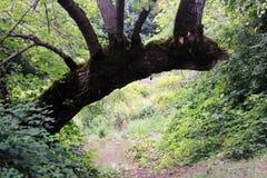 Krokigt gammalt träd fotografering för bildbyråer