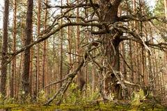 Krokigt sörja i ryss sörjer trä arkivfoto