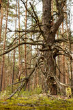 Krokigt sörja i ryss sörjer trä arkivbild
