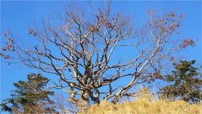Krokigt trä överst av kullen stock video