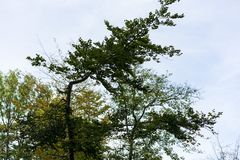 Krokigt träd efter storm royaltyfri bild