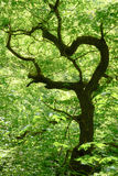 Krokigt träd, Harz, Tyskland arkivbilder
