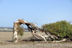 Krokigt träd i öknen royaltyfria bilder