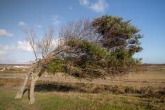 Krokigt träd på Vila do Bispo arkivbild