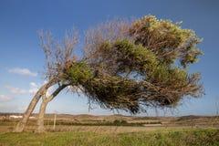Krokigt träd på Vila do Bispo fotografering för bildbyråer