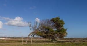 Krokigt träd på Vila do Bispo royaltyfria foton