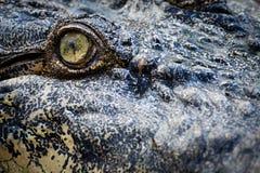 krokodilöga Arkivbilder