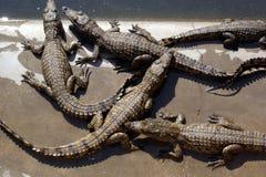 Krokodil 06 Royalty-vrije Stock Afbeelding