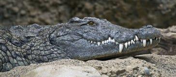 Krokodil 1 van Nijl Stock Foto