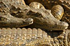 Krokodil 07 Lizenzfreies Stockfoto