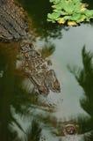 Krokodil! Stockbild