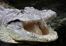Krokodil stock afbeeldingen
