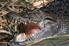 krokodil Arkivbilder