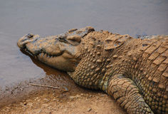 Krokodil Stock Fotografie