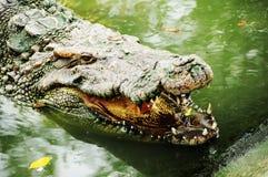 krokodil Arkivbild