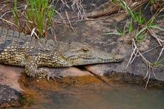 Krokodil 2371 van Nijl Royalty-vrije Stock Afbeeldingen