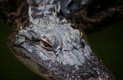 Alligator Stockbilder