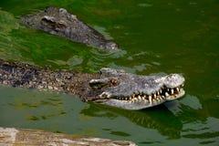 Krokodil Stock Afbeelding