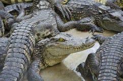 Krokodil. Fotografering för Bildbyråer