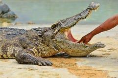Krokodil Royaltyfria Bilder