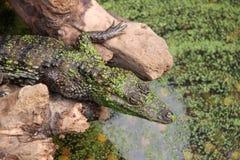 krokodil Lizenzfreie Stockfotos