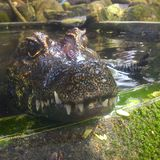 Krokodil Royaltyfri Fotografi