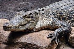 Krokodil Fotografering för Bildbyråer
