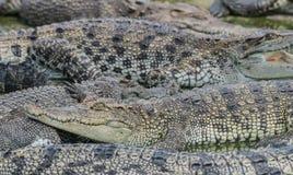 Krokodil royaltyfri bild