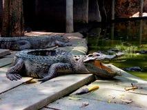 krokodil stockbild