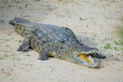 Krokodil royalty-vrije stock foto