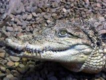 Krokodil 6 royalty-vrije stock foto's