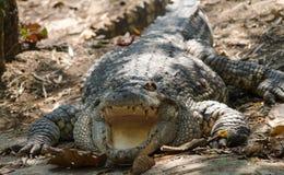 krokodil Stockbilder