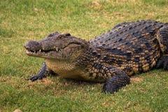 krokodil Stockfotografie