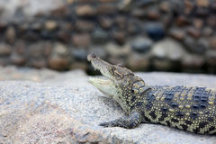 krokodil Royalty-vrije Stock Foto's