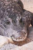 Krokodil Стоковые Изображения RF