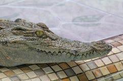 Krokodil Arkivfoto